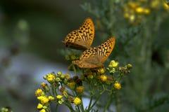 Papillon de manteau d'empereur Photo libre de droits