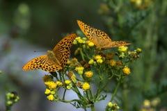 Papillon de manteau d'empereur Image libre de droits