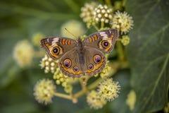 Papillon de maronnier américain photo stock