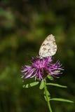 Papillon de Melanargia en fleur pourpre Photo libre de droits