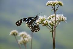 Papillon de Milkweed Photographie stock libre de droits