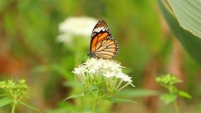 Papillon de Milkweed ou papillon de monarque sur la fleur blanche Images stock