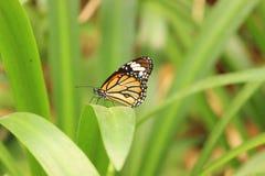 Papillon de Milkweed ou papillon de monarque sur la fleur blanche Images libres de droits