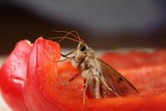 Papillon de mite Image libre de droits