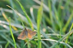 Papillon de mite image stock