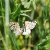 Papillon de mite photographie stock