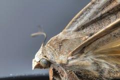 Papillon de mite Photos libres de droits