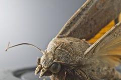Papillon de mite Images stock