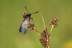 Papillon de mite des filipendullae d'un zygaena images libres de droits