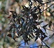 Papillon de monarque Images libres de droits