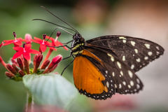 Papillon de monarque Photo stock