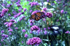 Papillon de monarque image libre de droits