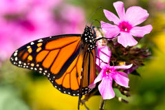 Papillon de monarque photo libre de droits