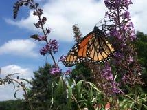 Papillon de monarque Photographie stock libre de droits