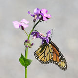 Papillon de monarque Image stock