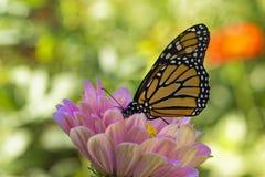 Papillon de monarque buvant sur un Zinnia rose Image libre de droits