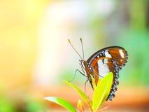 Papillon de monarque dans le jardin images stock