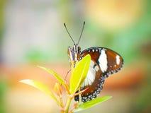 Papillon de monarque dans le jardin image stock