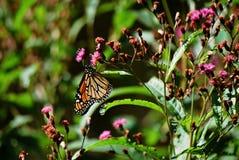 Papillon de monarque de alimentation Photos stock