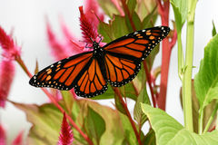 Papillon de monarque de Cape May photographie stock