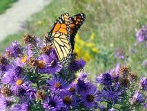 Papillon de monarque de lac toronto 2005 photo stock