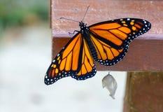 Papillon de monarque environ nouvellement émergé à voler pendant la première fois Photos stock