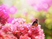 Papillon de monarque majestueux sur la belle fleur de bouganvillée Photographie stock libre de droits
