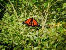 Papillon de monarque masculin Photo stock