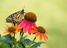 Papillon de monarque nouvellement émergé sur des coneflowers Images libres de droits