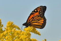 Papillon de monarque (plexippus de Danaus) sur (canadensis de solidago) le parc doré de Sheldon Lookout Humber Bay Shores Image libre de droits