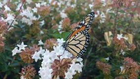 Papillon de monarque se reposant sur la fleur 4 d'Abelia Image libre de droits