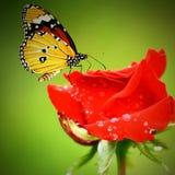 Papillon de monarque sur des roses de rouges Images stock