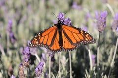 Papillon de monarque sur la fleur de lavande image stock
