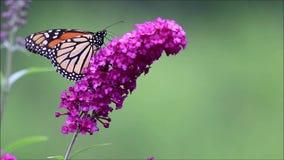 Papillon de monarque sur la pièce pourpre de fond de vert de buisson de papillon pour l'espace de copie banque de vidéos