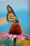 Papillon de monarque sur le coneflower Photos stock