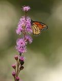 Papillon de monarque sur le pré Blazingstar Images stock