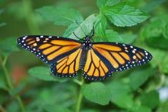 Papillon de monarque sur porterweed Photographie stock libre de droits