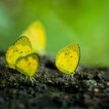 Papillon de monarque sur un aux yeux noirs Photographie stock