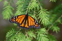 Papillon de monarque sur une branche de pin Photos libres de droits
