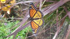 Papillon de monarque sur une lame d'herbe Image stock