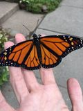 Papillon de monarque trois après libération photos stock