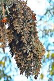 Papillon de monarque un long groupe et des ailes colorées Images stock