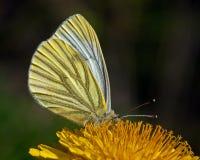 Papillon de napi de Pieris Image libre de droits