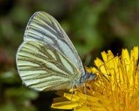 Papillon de napi de Pieris Photo stock