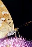 Papillon de Nymphalidae Photographie stock libre de droits