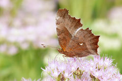 Papillon de Nymphalidae Photographie stock libre de droits