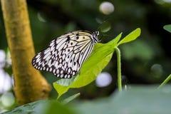Papillon de nymphe d'arbre ou papillon de papier de riz, leuconoe d'id?e sur des fleurs photo stock