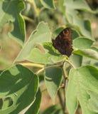 Papillon de paon Photo libre de droits