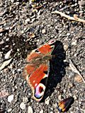 Papillon de paon Image libre de droits