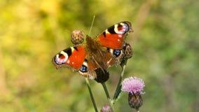Papillon de paon Photos stock